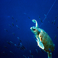 Turtle caught in Spanish longline, Mediterranean. Accession #: 0.89.121.001.14