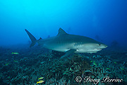 large female tiger shark, Galeocerdo cuvier, with a crooked jaw likely from fishing interaction and a remora or sharksucker attached to the lower jaw passes below a group of scuba divers, Honokohau, Kona, Big Island, Hawaii, USA ( Central Pacific Ocean )