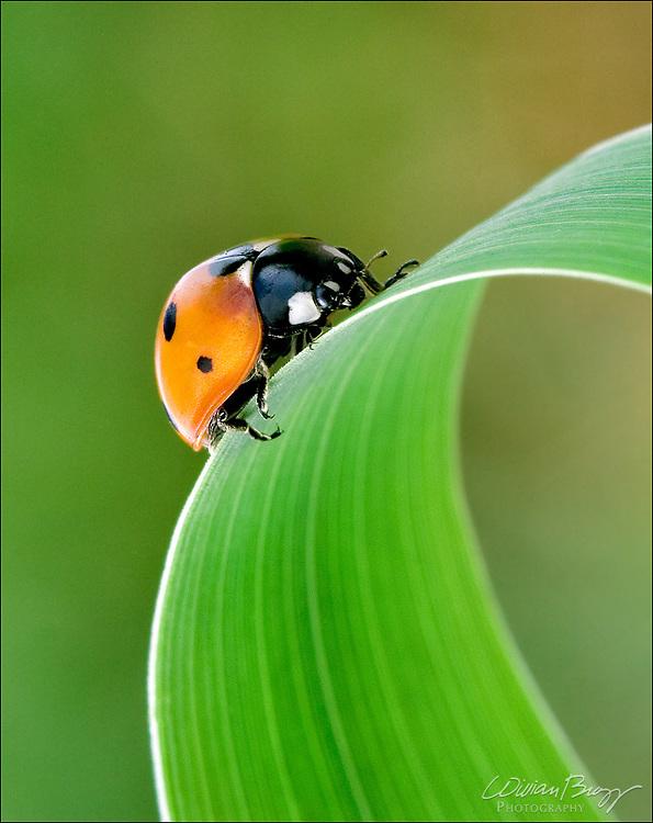 Seven-spot ladybug on a blade of grass