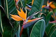 Bird of Paradise blooms with double-head in foreground, Hotel Hana, Hana, Maui, Hawaii