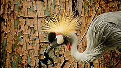 The East African Crowned Crane (Grey Crowned Crane) gets its name from the distinctive golden crown of feathers on its head. The Grey Crowned Crane is a bird in the crane family Gruidae. It occurs in dry savannah in Africa south of the Sahara, although it nests in somewhat wetter habitats.They can also be found in marshes. This photo was taken at the Saint Louis Zoo<br />