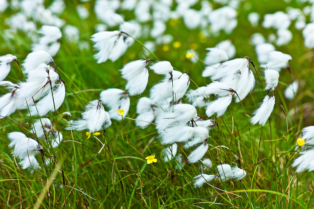 Bog Cotton, cotton-grass, Eriophorum blowing in the wind at Cleggan, Connemara, County Galway