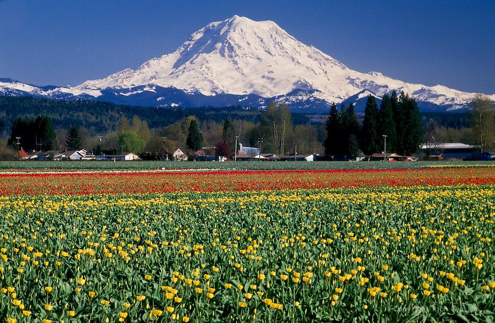 Tulip field and Mt. Rainier in springtime, near Morton, Lewis county, Washington