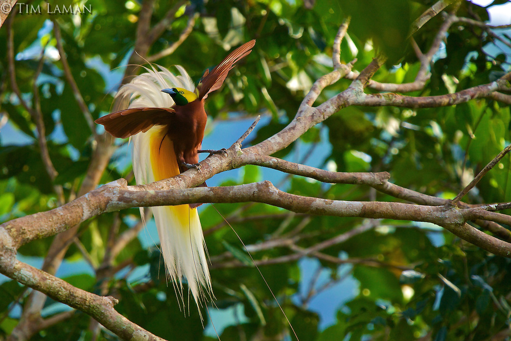 Lesser Bird of Paradise (Paradisaea minor) male displaying high in the rain forest canopy at his display site (lek).