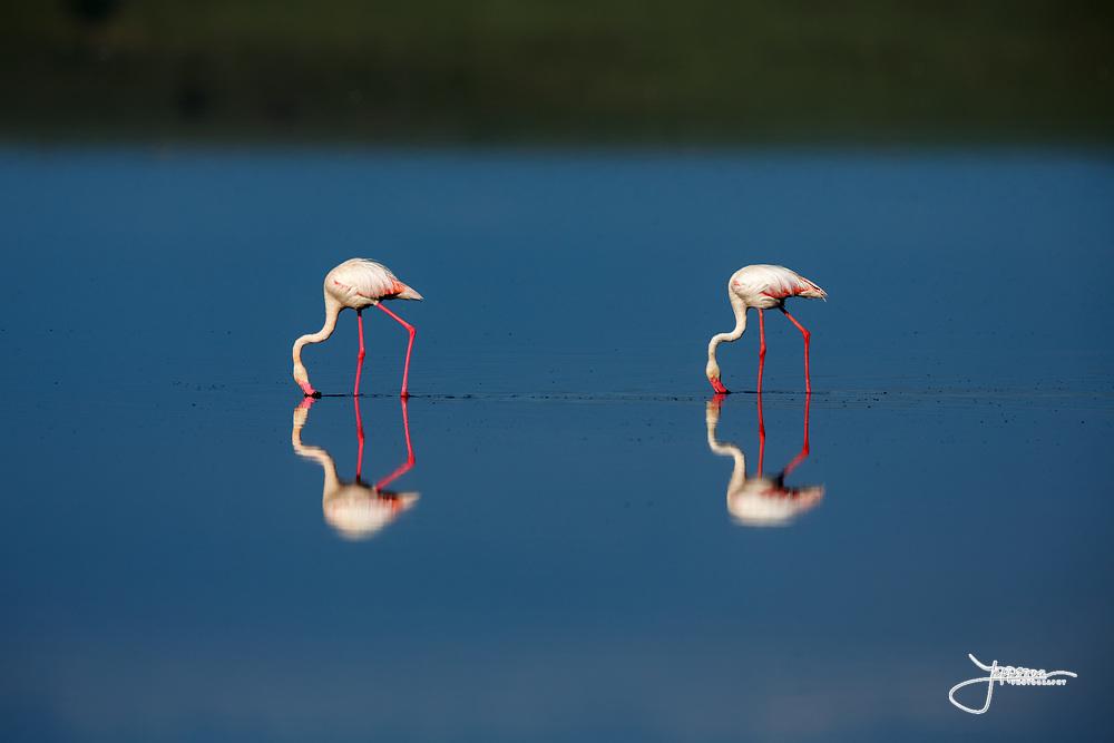 Greater Flamingos (or Rosy Flamingo) Phoenicopterus ruber, Phoenicopterus roseus, Större Flamingo, feeding in Lake Ndutu in morning light, Serengeti.