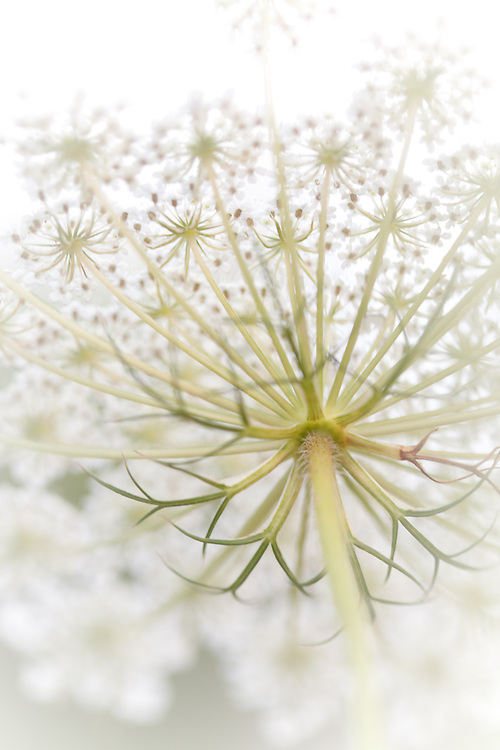 Dainty & Delicate is the appearance of the Queen Anne's Lace, though look closely! You will see such strength of her structure, a solid foundation that is host to the many facets of her character.  Inspired by God's creation I am drawn to explore this local wildflower only to discover a unique story revealed. This piece is certain to bring relaxation and inspiration to any home and office décor while stirring the viewers soul.