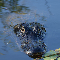 An Alligator at Shark Valley, Florida, a National Park in the Everglades.