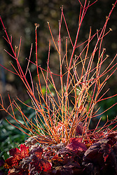 The red stems of Cornus sanguinea 'Midwinter Fire' growing with  × Heucherella 'Sweet Tea'