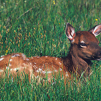 Fawn elk resting in Gibbon Meadows in Yellowstone National Park Wyoming.