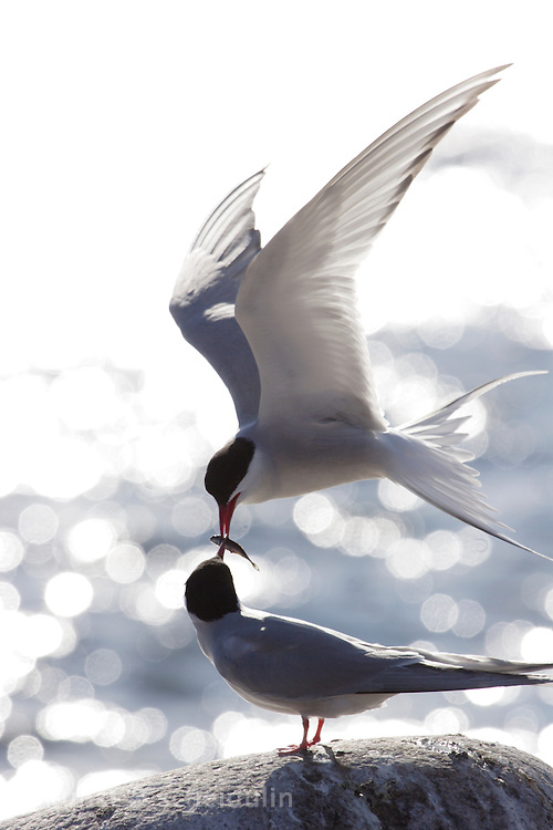 A male Arctic tern (Sterna paradisaea) is feeding his female partner with fish. Baltic Sea, Vaesternorrland, Sweden, Europe