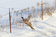 Rooster Ringnecked pheasant in flight