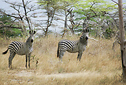 Tanzania wildlife safari A Herd of Zebras