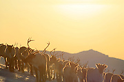 Reindeers in Mid-Norway, the Sylene mountains.