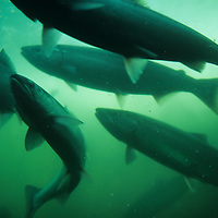 USA, Washington, Seattle, Sockeye (Red) Salmon (Oncorhynchus nerka) spawns upstream through Ballard Locks