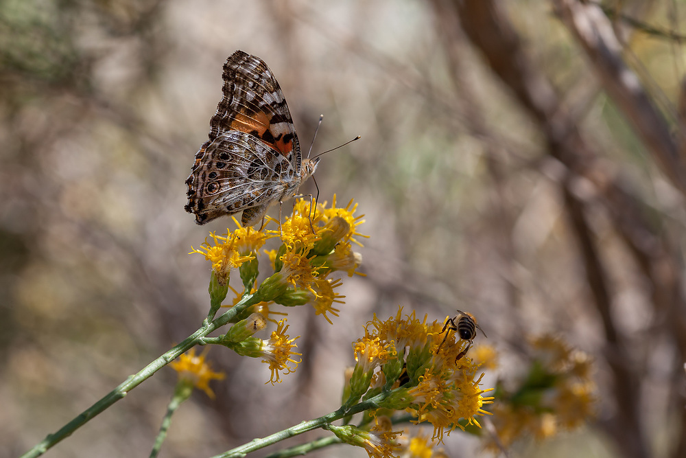 Vanessa cardui (Painted Lady) at Big Rock Creek, Los Angeles Co, CA, USA, on California broomsage 19-Aug-17