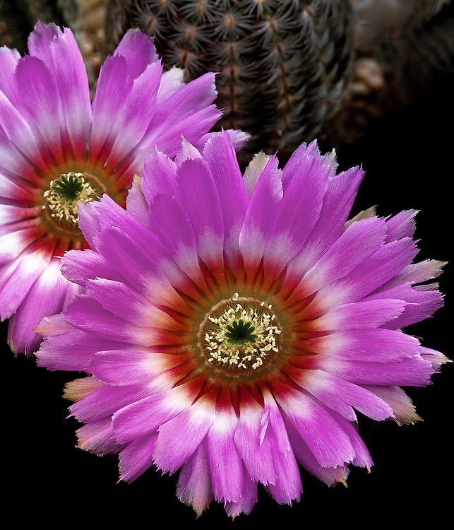 Lace cactus (Echinocereus reichenbachii) / #CAC015