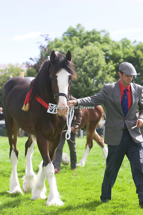 Wendy Toomer-Harlow's Bay Colt<br /> Cumeragh House Deano<br /> Sire  Acle Nelson<br /> 3rd  Filly, Colt or Gelding Yearling Class