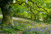 Man walking through a beech woodland in springtime with bluebell flowers carpeting the forest floor, Shotover, Oxfordshire, UK