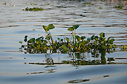 Water hyacinth near Chau Doc, Vietnam.  This invasive species is has become a serious problem in this area.  While locals harvest the plant for handicrafts and other uses, they cannot keep up with its growing coverage of the waterway.