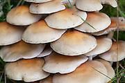 Vanlig svovelsopp,  Hypholoma capnoides, the Conifer Tuft. Spiselig, men har farlige forvekslingsarter.