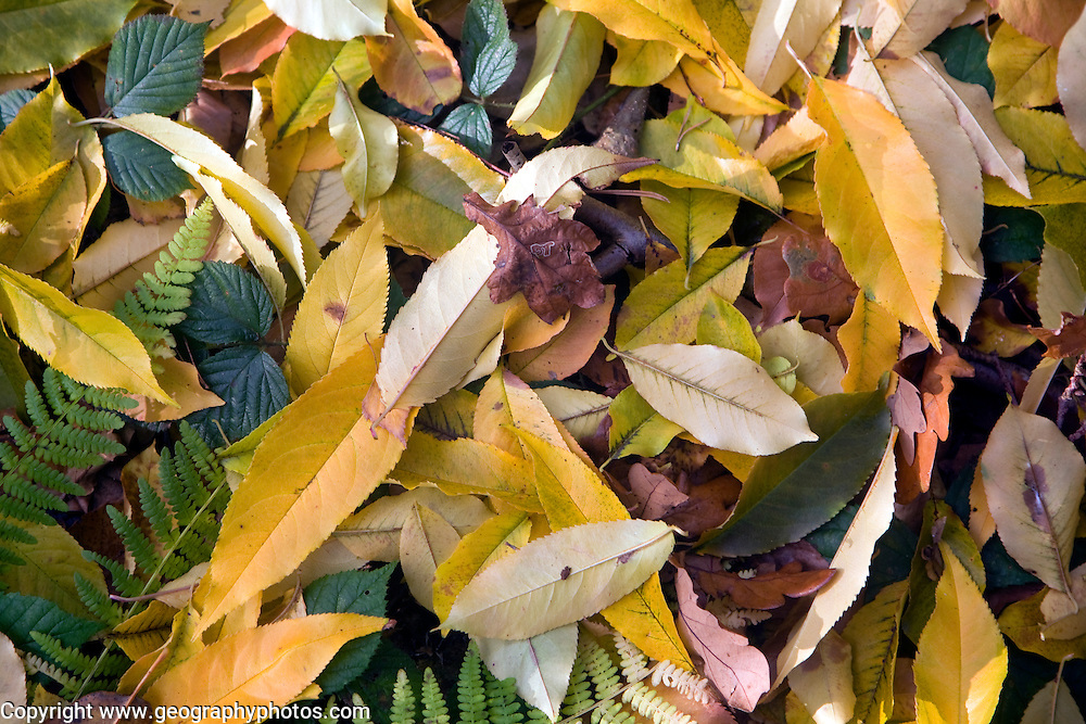 Raised view of fallen autumn leaves from deciduous trees