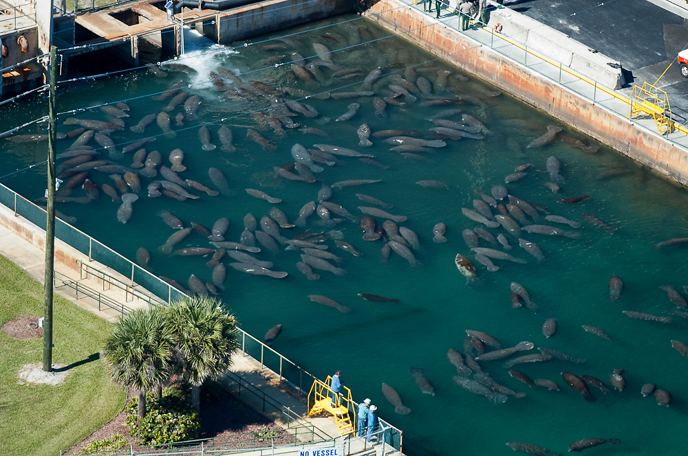 Endangered Florida Manatees (Trichechus manatus latirostris) gather at the warm-water discharge of the Florida Power & Light powerplant in Riviera Beach during a severe cold front. These marine mammals are highly sensitive to cold.