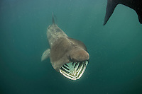 Basking Shark (Cetorhinus maximus); in the area of the Island of Mull; Scotland. June 2009. (Coll and Tiree Islands area)