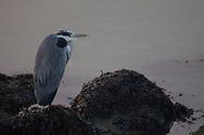 Blauwe reiger - Heron