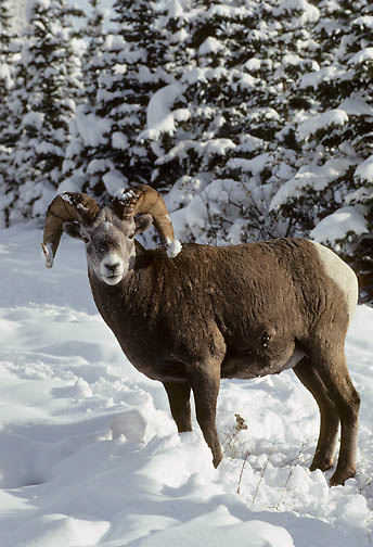 Bighorn Sheep (Ovis canadensis) ram pausing from foraging under snow in the Canadian Rockies of Canada.