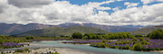 A pano of the Ahuriri River lined with wild lupins, Mackenzie Basin, New Zealand