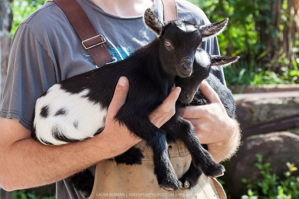 Goat milking and cheese making workshop at Haute Goat, Newtonville, Ontario