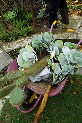 Lifting cacti and succulents for overwintering. IN wheelbarrow ready to go to greenhouse