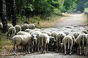 Nederland, Nijmegen, Heumen, 8-9-2013Open dag in natuurgebied Heumensoord, beheerd door natuurmonumenten. Een schaapskudde komt langs.De schapen begrazen de open plekken, halen het gras weg, om de hei de ruimte te geven, en het gebied op een natuurlijke manier te onderhouden. Schaaphonden houden de dieren bij elkaar. De schaapskuddes in Gelderland worden bedreigt vanwege het stoppen van de subsidie. De provincie probeert bij te springen, maar stuit op administratieve problemen.Foto: Flip Franssen/Hollandse Hoogte