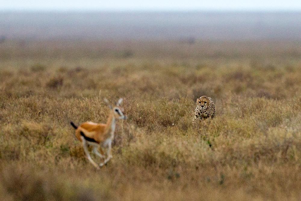 Tanzania, Ngorongoro Conservation Area, Ndutu Plains, Cheetah (Acinonyx jubatas) running toward fleeing Thomson's Gazelle (Eudorcas thomsonii) during hunt