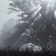 &quot;Silent Blessings&quot;<br /> <br /> A stunning black and white foggy landscape with rays of sunlight streaming through the tree!