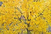 Black Walnut tree (Juglans nigra) in autumn along the Grande Ronde River
