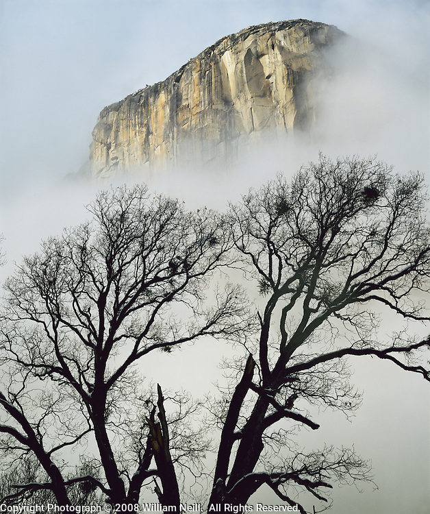 Black oak and El Capitan, Yosemite National Park, California