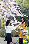 © Licensed to London News Pictures. 19/03/2014. London, UK. Two girls photograph cherry blossom. People enjoy the sunshine at Regents Park today 19th March 2014. Photo credit : Stephen Simpson/LNP