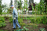 Richard Martin, 92, walks through the garden behind his Post Falls home Thursday where he's grown 15-foot tall stalks of corn among his other vegetables.