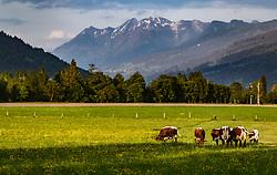 THEMENBILD - Kühe grasen auf einer Weide vor dem Bergpanorama, aufgenommen am 07. Mai 2018 in Kaprun, Österreich // Cows graze in a pasture in front of the mountain panorama, Kaprun, Austria on 2018/05/07. EXPA Pictures © 2018, PhotoCredit: EXPA/ JFK