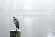 © Licensed to London News Pictures. 01/11/2015. Kingston, UK. A grey Heron sits int he dense fog along the river bank.  Fog along the River Thames in Kingston today, 1st November 2015. Much of the South East of Britain woke to fog this morning. Photo credit : Stephen Simpson/LNP