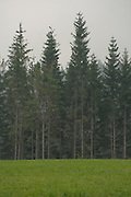 group of pine trees in the morning fog Black forest Germany