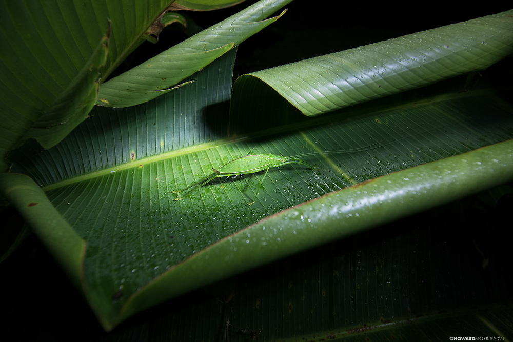 A Scopiorinus sp. katydid seen in its resting position perfectly blending into the foliage. Monteverde, Costa Rica.