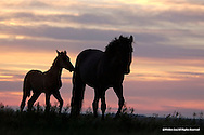 Wild Horse<br /> Cheyenne River Sioux Reservation, South Dakota<br /> <br /> This young foal seeks mom's protection as the unknown challenges of darkness approaches.<br /> <br /> Edition of 500.