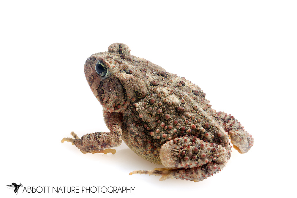 East Texas toad (Anaxyrus woodhousii velatus)<br /> TEXAS: Jasper Co.<br /> Brookeland/Lake Sam Rayburn KOA @ 505 Co Rd 212<br /> 31.141606, -93.994174<br /> 15-21.March.2015<br /> J.C. Abbott #2702 &amp; K.K. Abbott