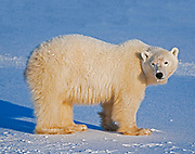 Polar Bear (Ursa maritimus) on sub-arctic Hudson Bay
