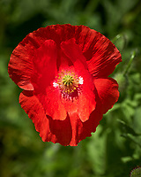 Red or Oriental Poppy. Image taken with a Leica CL camera and 60 mm f/2.8 lens.