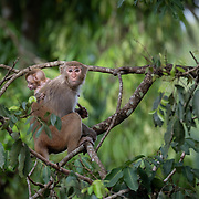 The rhesus macaque (Macaca mulatta) is one of the best-known species of Old World monkeys. It is listed as Least Concern in the IUCN Red List of Threatened Species in view of its wide distribution, presumed large population, and its tolerance of a broad range of habitats. However, in Thailand it is a rare sighting and limited to just a few northern locations in the country.
