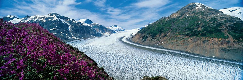 Alaska. Arctic Fireweed above Salmon Glacier near Hyder , Alaska.