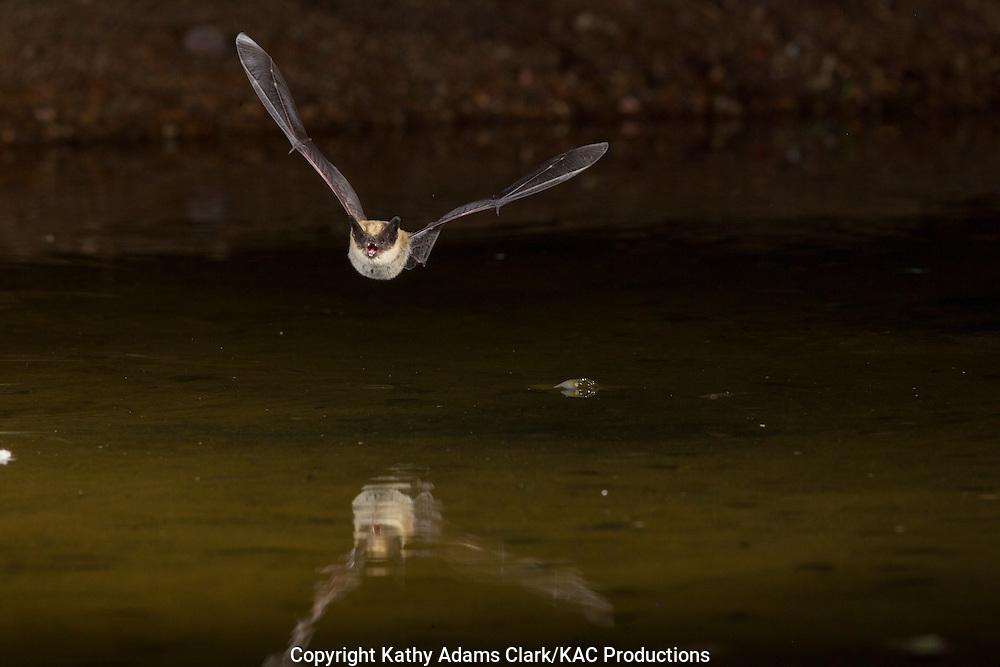 Myotis species, possibly Fringed myotis, Myotis thysanodes, flying over pond at night, southern Arizona.